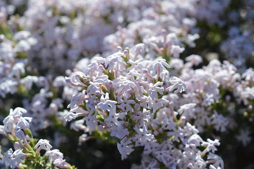 DSC_0041 Junellia connatibracteata ジュネリア コンナチブラクテアタ