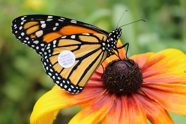 A monarch with a tag on its right wing on an orange flower.