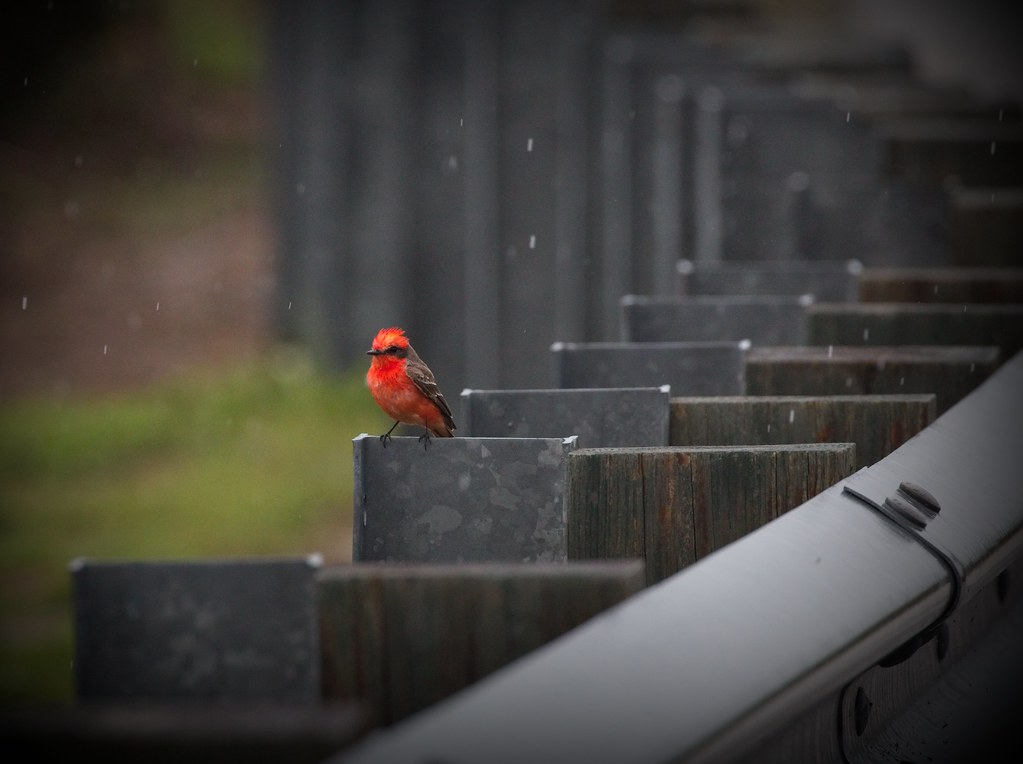 Vermilion flycatcher in the rain