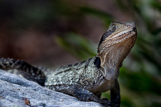 Eastern Water Dragon 7