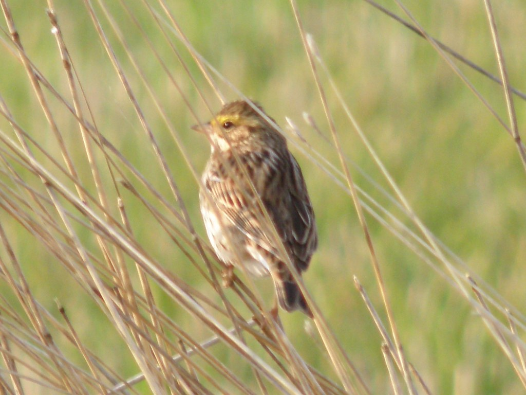 P4197483...Savannah Sparrow