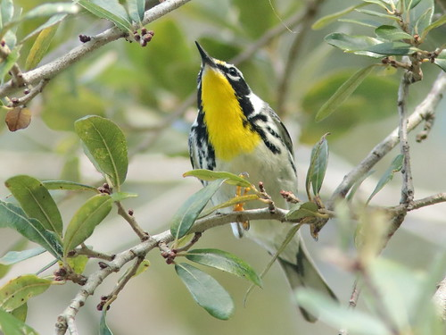 Yellow-throated Warbler 02-20190217