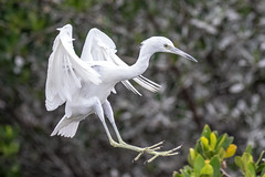 Juvenile Little Blue Heron Landing
