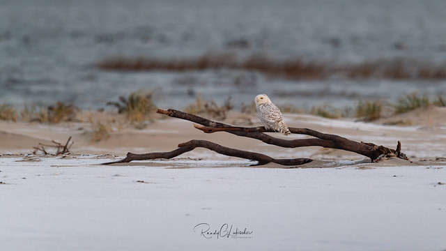Snowy Owls of New Jersey | 2018 - 52