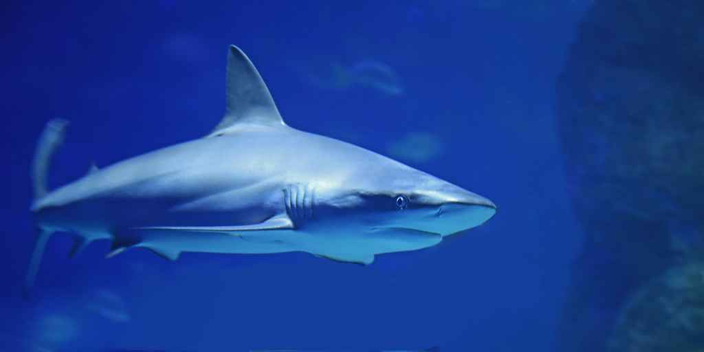 La longévité du grand requin blanc cachée dans son génome