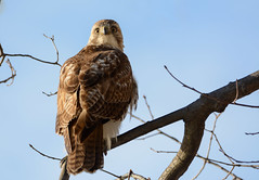 Red-tailed Hawk (Juv.)
