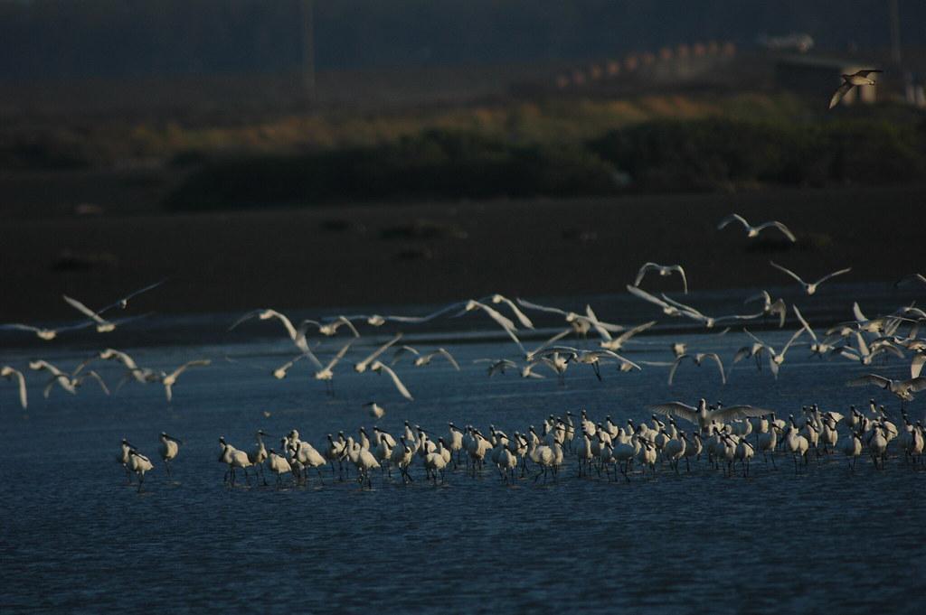 黑面琵鷺的全球數量曾經銳減到1988年紀錄的288隻,經由國際合作的努力,目前已經回復到接近4000隻的族群規模。(特生中心 蕭一民  攝)