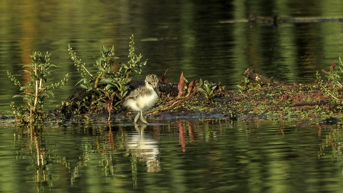 Pied Stilt chick