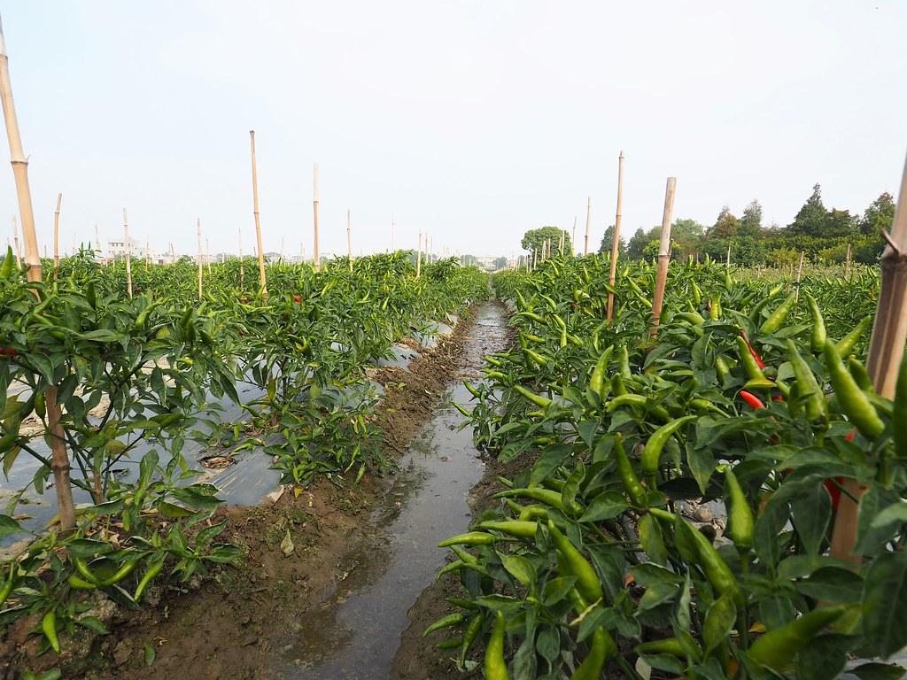 鹿草農業體驗 (4)