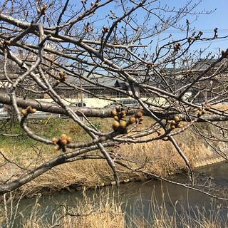 3月20日の桜
