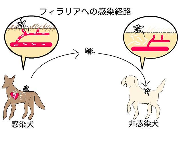 犬がフィラリアに感染する経路