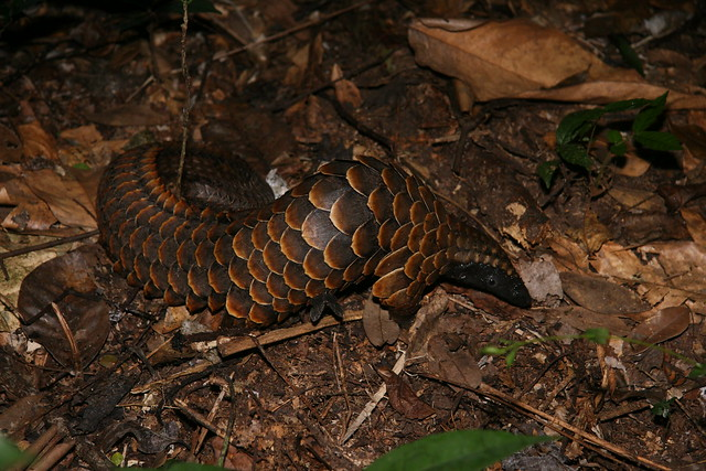 Black Bellied Pangolin Rod Cassidy
