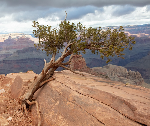 Trailside tree in the Grand Canyon | by jimbobphoto