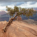 Trailside tree in the Grand Canyon