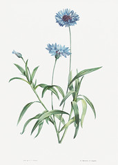Blooming blue cornflowers