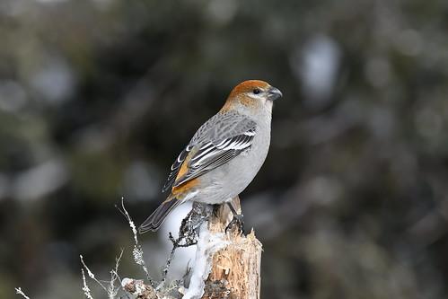 Durbec des sapins mâle juvénile à son premier hiver--Pine Grosbeak male juvenile at his first winter (Pinicola enucleator) (IN EXPLORE NO-44)
