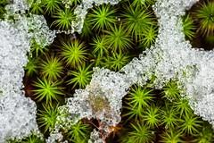 ice moss
