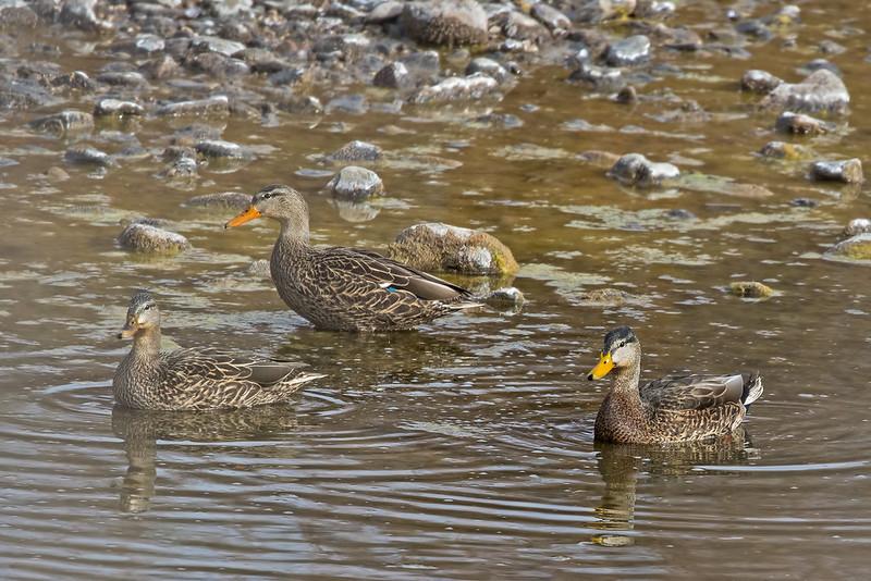 Mallard-Duck-29-7D2-122118