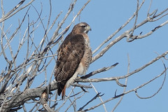 Identification of Individual Red-Tailed Hawk, Photo 1 of 3
