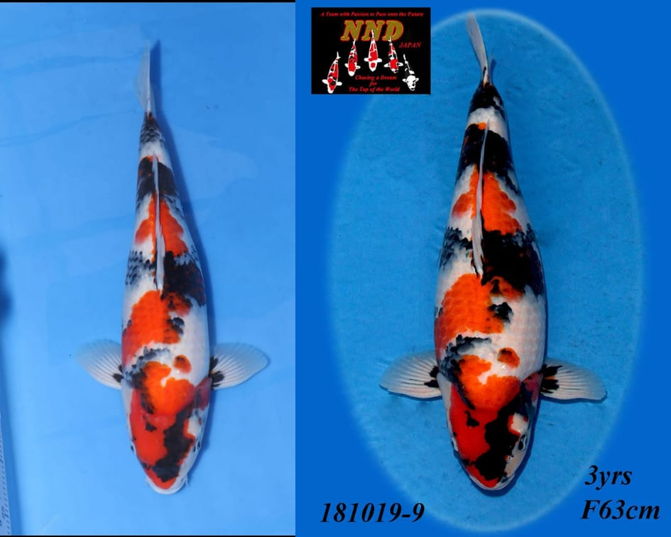 NND Showa Wiechert Fuit all japan Koi show