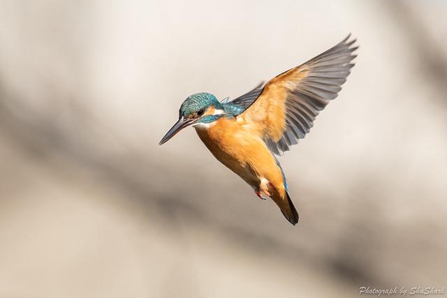 20190223-kingfisher-DSC_1513