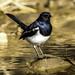 Oriental Magpie Robin ... ...