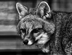 Gray Fox....6O3A8509Ab