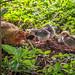 Hen and chicks, Dole Plantation