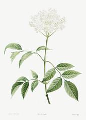 Blooming elderflower tree