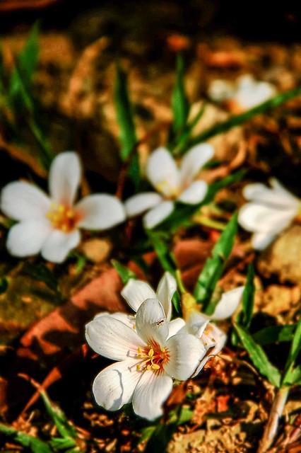笠頂山油桐花 2