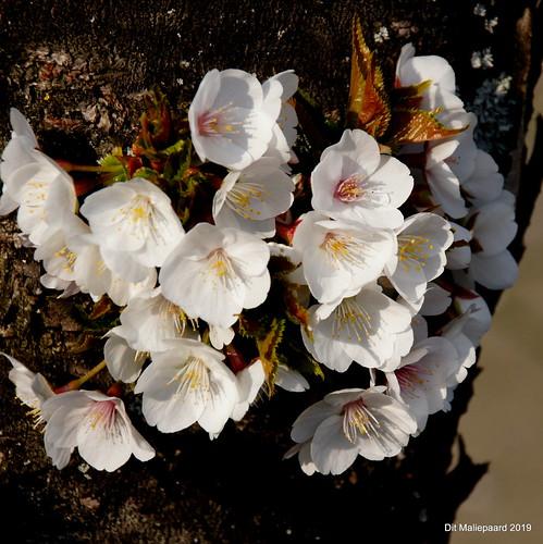 Bloesem op een boomschors