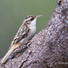 In Its Search For Insects A Brown Creeper Pauses On Tree Trunk