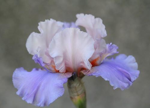 Iris - floraisons 2011 - Page 3 32255037567_04b5ed35b4