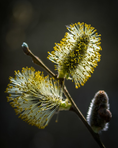 Willow flower