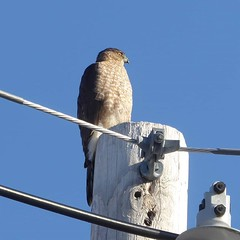 Good morning, Cooper's hawk.