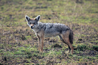 African golden wolf at Ndutu in the Ngorongoro Conservation Area in Tanzania