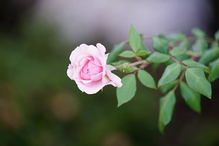 Pink rose | by Joe Lewit