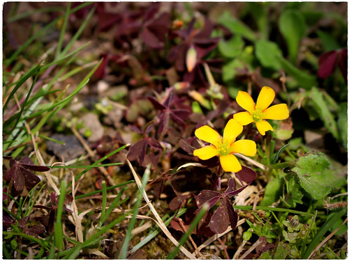 Purple-leaved Yellow-sorrel
