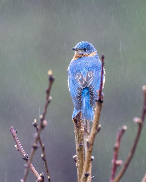 Male Bluebird-0208