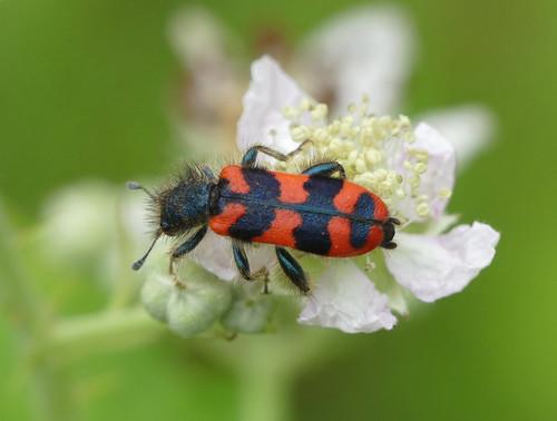 Bee-hive beetle (Trichodes alvearius)