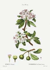 Almond-leaved pear (Pyrus sinai) illustration from Traité des A