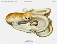 Velodona octopus vintage poster