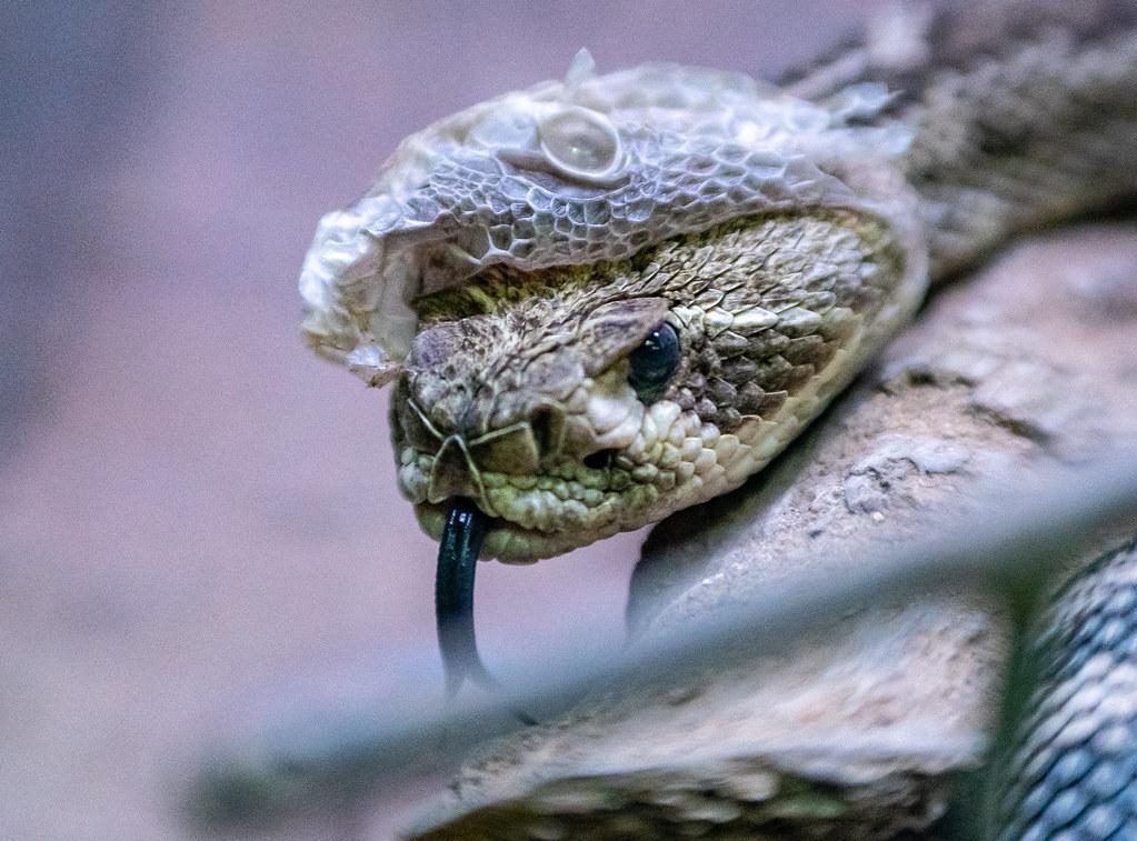 Western Diamondback Rattlesnake_2