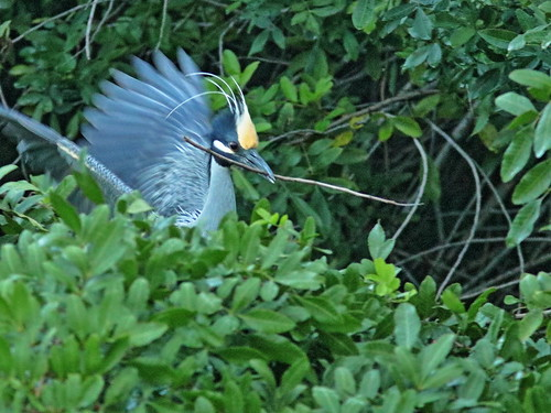 Yellow-crowned Night-Herons at nest 091-20190227