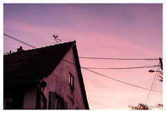 le chant du coq - Photo of Artolsheim