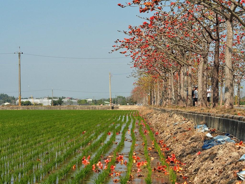 白河木棉花季 (3)