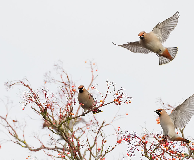 Waxwing - incoming...