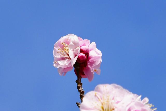 Ume_(2019_02_24)_2_resized_1 青空を背景にピンク色の梅の花を撮影した写真。 左右の開いた花に挟まれて可愛らしい蕾が上下に並んでいる。