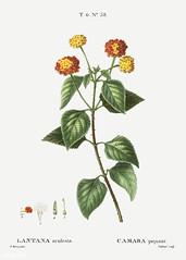 Tickberry (Lantana aculeata) illustration from Traité des Arbre