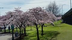 Portland Flowering Cherries